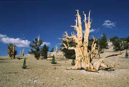 California images. Ancient bristlecone pines in White mountains, California © Eric Hammerin